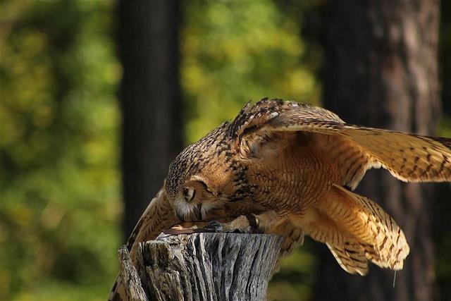 Savigny's Eagle Owl - Pharaoh Eagle-owl (Bubo ascalaphus)