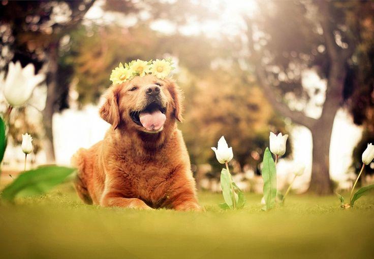 Порода собак золотистый ретривер. Фото