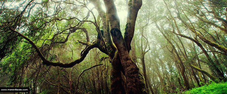 El Parque Nacional de Garajonay se encuentra en la isla de la Gomera (Islas Canarias), ocupando unas 4.000 hectáreas de terreno cubierto principalmente por bosque de laurisilva, superviviente de las ancestrales selvas subtropicales que hace millones de años poblaron el área mediterránea y que aquí sobrevive gracias a la humedad retenida por las casi permanentes nieblas de las cumbres.