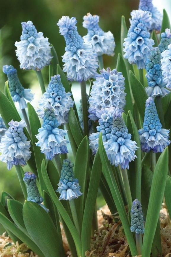 Мускари - нежные цветы напоминающие маленькие колокольчики