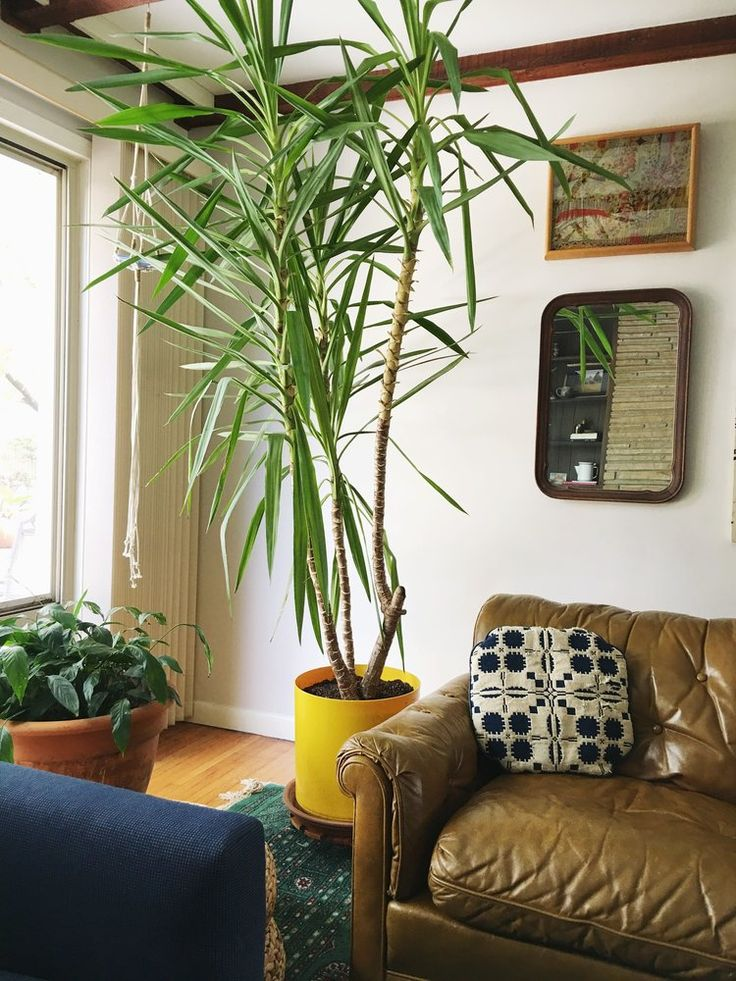 yucca tree, plant care, house plant, living room, ranch house