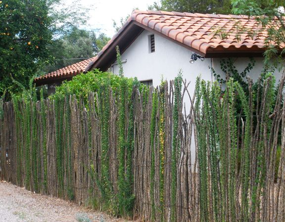 ocotillo fence in bloom garden
