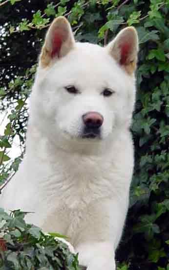 White Akita...Just like my baby ♥Looks like our 2nd Akita Takara Go in Okinawa.