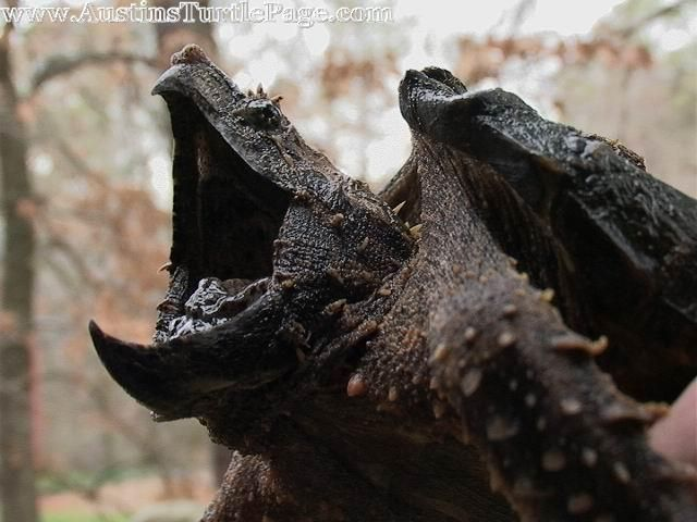 Alligator Snapping Turtles....how strange is it that I really want on?!