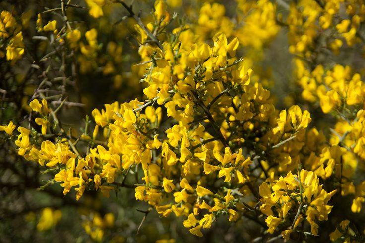 Les #genêts sont des arbustes ou arbrisseaux appartenant à la famille des #Fabaceae.  #brem #aude #languedoc
