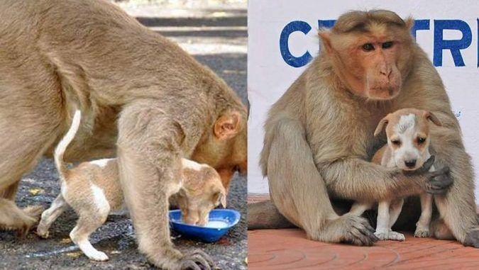SUNGGUH MENGHARUKAN.. Ibu monyet menjadikan anak anjing terbiar sebagai anak angkat dan menyayanginya dengan sepenuh hati! http://ift.tt/2u4OcnR