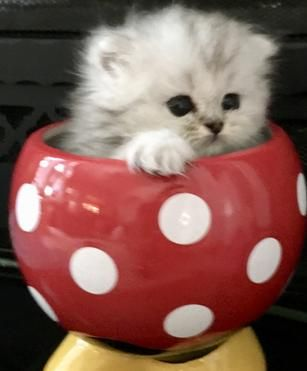 Persian Kittens For Sale - Powderpuff Persians