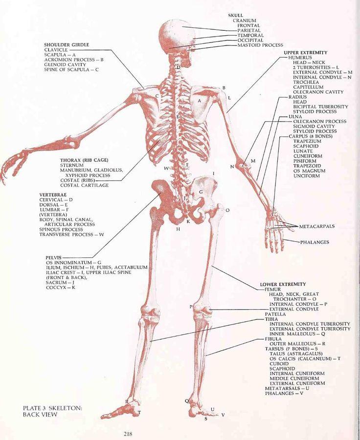 48 best anatomy images on Pinterest | Human anatomy, Anatomy art and ...