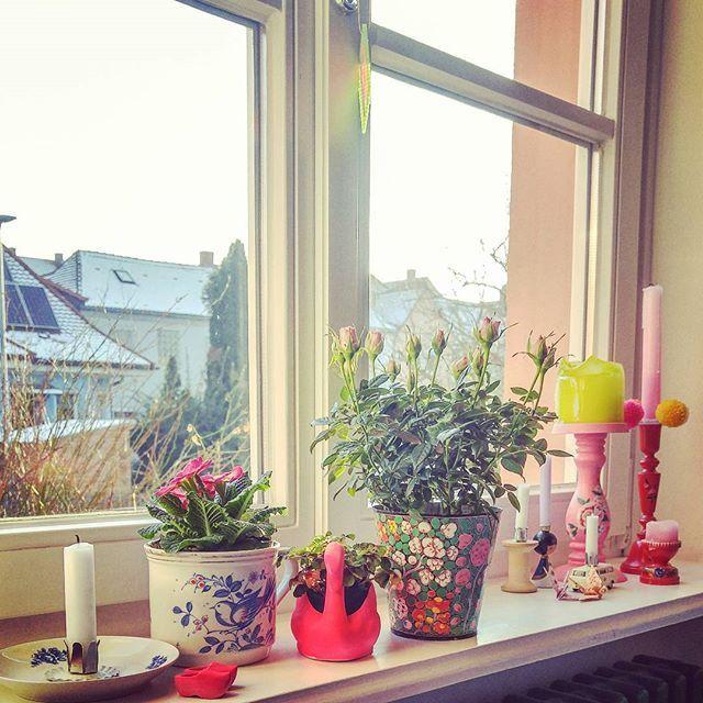 Es ist zwar weiterhin bitterkalt hier, aber auf dem Fensterbrett ist es schon ein bisschen frühlingshaft ❄❄ #primel #klee #rose #frühling