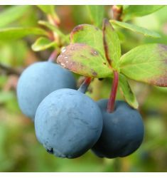 Blueberry 40cm Rp 1,250,000