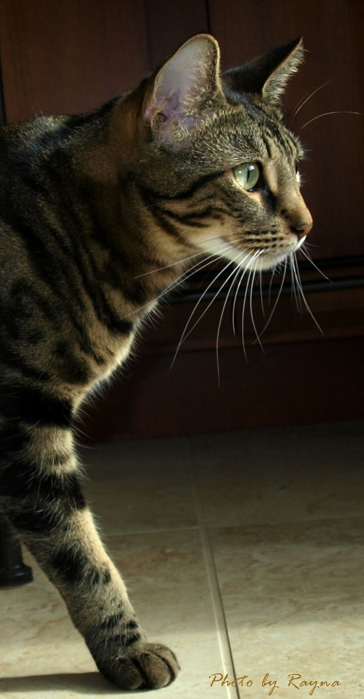 A Bengal Cat For Sale ZAK Tri Colored Marble...