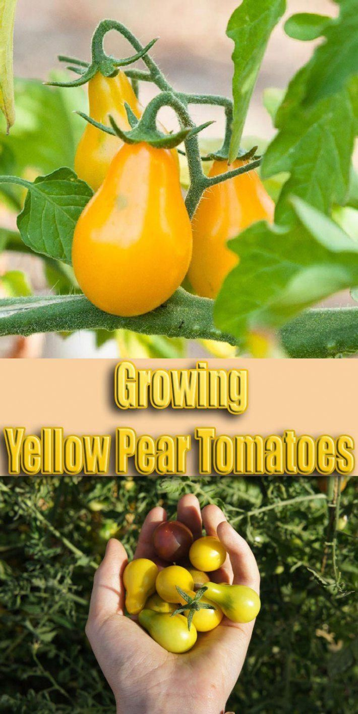 Growing Yellow Pear Tomatoes #gardening #tomatoes #vegetablegardening