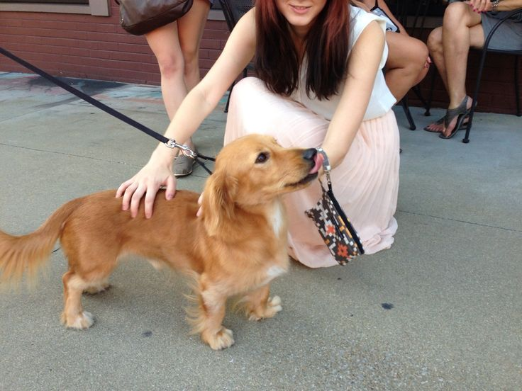 That's what you get when you mix a dachsie and a golden retriever... Hosted by imgur.com