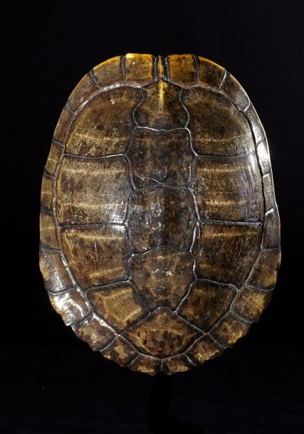 Magnifique carapace de tortue de Floride