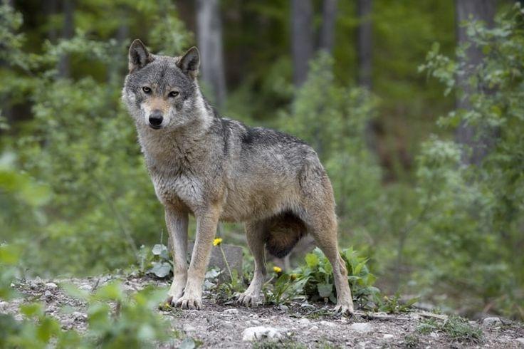 Le loup du parc Alpha