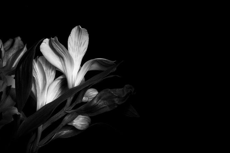 https://flic.kr/p/JV3FKi | Amaryllis_2 #flower #lightpainting #photography #nature #black&white