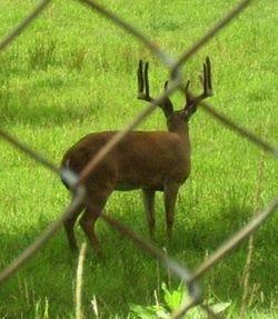 Captive Deer Breeding Bills Falter in Legislatures  http://www.deeranddeerhunting.com