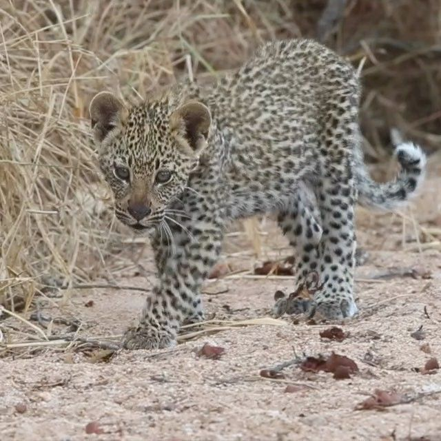 Video by @bertiegregory // A leopard cub explores a dried up riverbed in the Timbavati Game Reserve, South Africa. Leopard cubs are born blind and start to develop sight after 10 days. Cubs will then stay with their mothers until they're around 2 years old. Aside from this interesting biology, they're also unbelievably cute! Shot for @stevewinterphoto 's @natgeo leopard story and our TV show for @natgeowild.