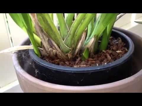Cymbidium Orchid Care and Maintenance - Bing video                                                                                                                                                     More
