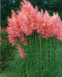 Pink Pampas Grass... pretty!: Pampass Grass, Gardens Ideas, 9Cm Pots, Pink Feathers, Pampas Grass, Pink Pampass, Ornaments Grass, Flower, Gardens Plants