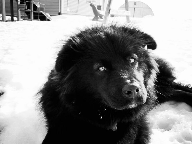 chow chow border collie mix - photo #18