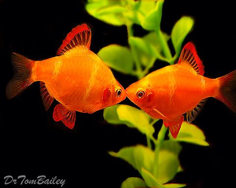 110 best tropical community fish images on pinterest for Best community fish