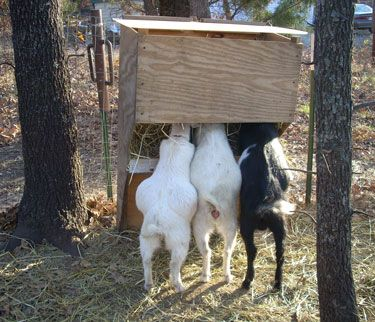 Care of goats
