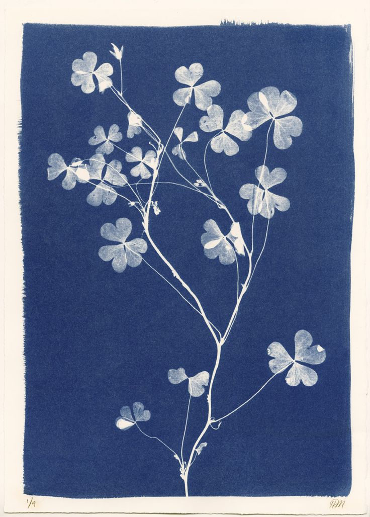 Sri Lankan Clover Cyanotype by Henrietta Molinaro at Wilson Stephens & Jones http://www.wilsonstephensandjones.com