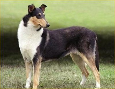 The Smooth Collie is a medium to large dog, ranging in size from 20-26 inches at the shoulder and weighing 40-75 pounds. Standard size for the breed is on the larger end of the range in the United States and Canada, smaller elsewhere; for example, for the AKC, the range is 22 to 26 inches (56-66 cm) and 50 to 75 pounds (22.5-34 kg). In all standards, females should be significantly smaller than males. The Smooth Collie is slightly longer than it is tall, with a level back and a deep chest…