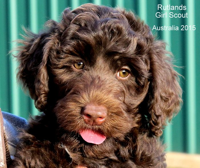 Rutlands Australian Cobberdog Chocolate puppy ten weeks old. Exported from Australia to New York USA