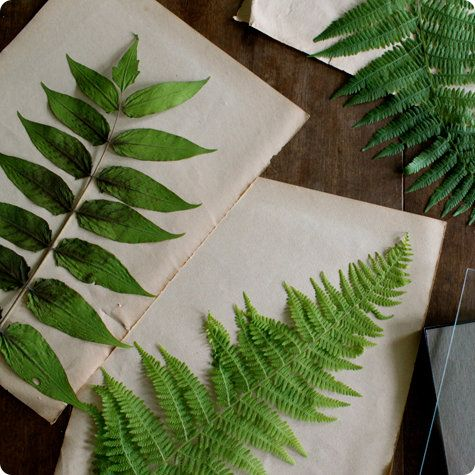 Pressed botanical specimens