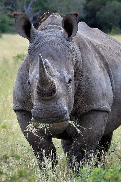 Critically endangered 'White' Rhino  -  the name White refers to the 'wye' or' wide' lower lip, not to the color of the Rhino!