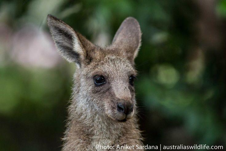An #Eastern Grey #Kangaroo #joey #aus_wildlife