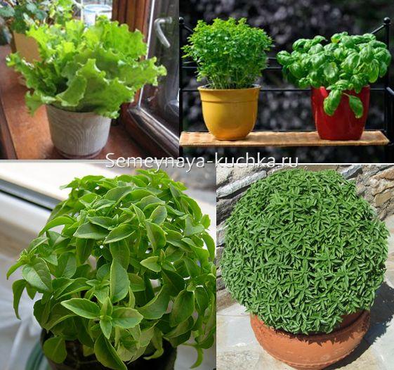 КАКУЮ СЪЕДОБНУЮ ЗЕЛЕНЬ МОЖНО ВЫРАСТИТЬ НА ПОДОКОННИКЕ. Зелень которую можно вырастить из корней и черенков (не из семян): розмарин, петрушка (корень), сельдерей, базилик, бораго, кресс-салат, лук зеленый