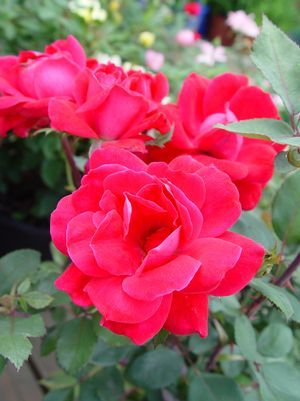 Rosa 'Knockout' Knockout Rose from Prides Corner Farms
