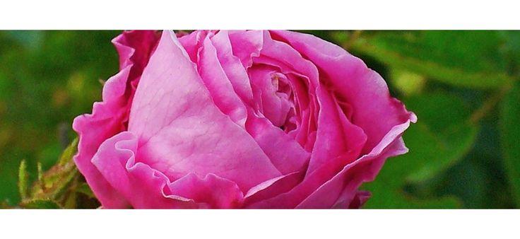 #Rosa #Centifolia. La rosa centifolia es muy apreciada por su aroma y se cultiva principalmente en Sur de Francia y Marruecos. La recogida de las rosas es un proceso delicado y se debe hacer a primeras horas del día cuando guardan más aceite en su interior. Para obtener 1 litro de aceite de rosa son necesarias entre 3 y 5 toneladas de pétalos. El extracto de rosa centifolia tiene propiedades extraordinarias regeneradoras, hidrata, equilibra y calma... | TeQuieroBio.com