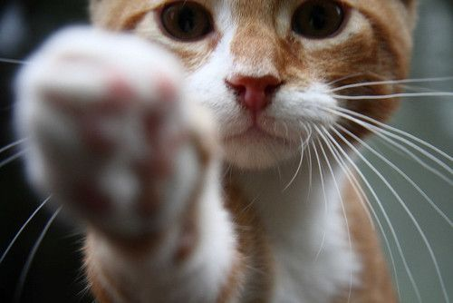 paw: Funny Kitty, High Five, Cat Paw, Animal Pictures, Kitty Cat, Kittens Mittens, Hands, The Faces, Taps
