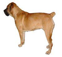 DogFarmTr : SATILIK CANE CORSA YAVRULARI