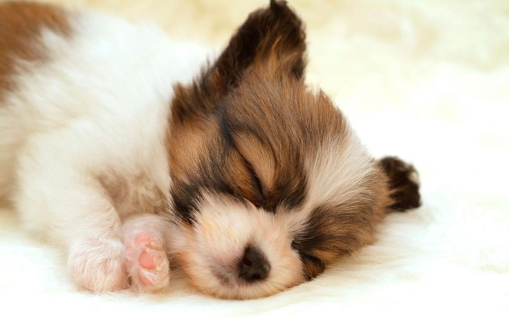 Google Image Result for http://stuffpoint.com/dogs/image/92220-dogs-papillon-puppy-wallpaper.jpg    So Cute!
