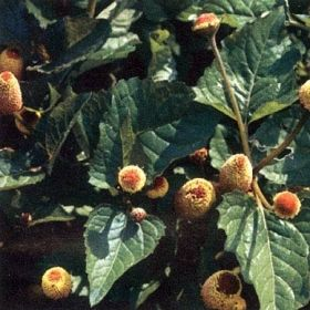 "ParaKrasse (Acmella) ""Toothache plant"""