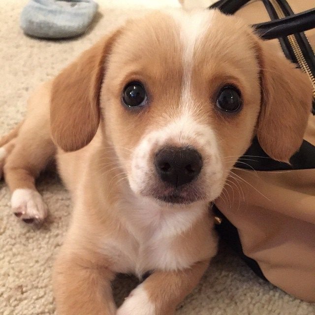 Golden Retriever/King Charles Cavalier mix puppy