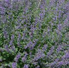 Nepeta racemosa 'Walker's Low' Deep violet to lilac-blue summer flowers and aromatic mid-green leaves. This violet-lilac catmint makes excellent, long-flowering, groundcover for a sunny border. Clipped back after the first flush in June, it flowers through to early autumn. Useful as an informal, scented edge for paths as, when trodden on, the foliage releases a pleasant aroma.