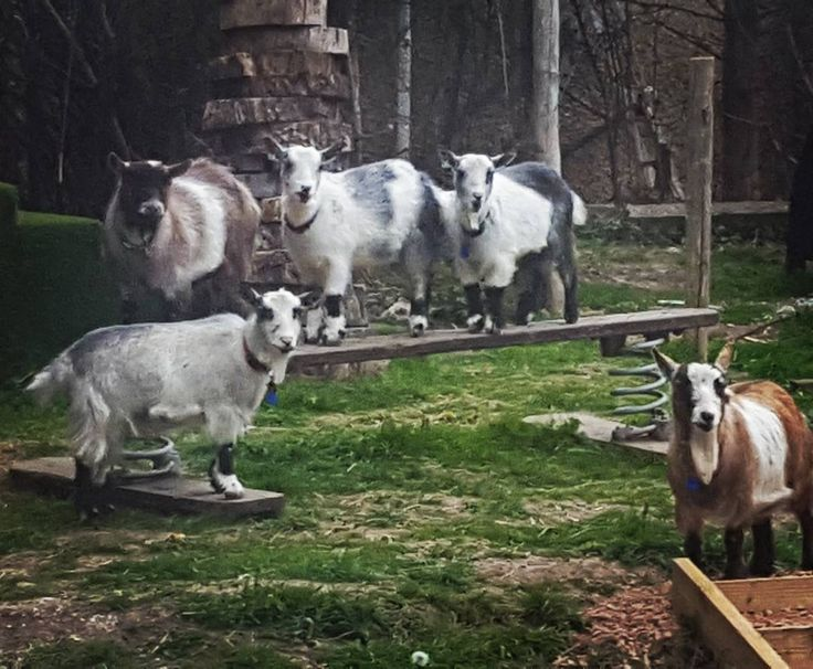 The goats are back and they're ready for gym class.