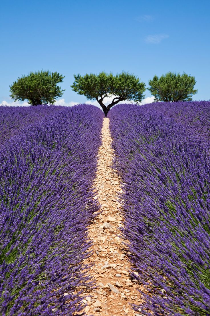 Lavender way by Chantal Seigneurgens / 500px (France)