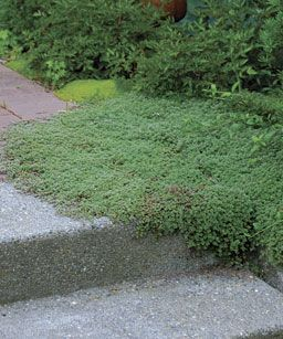 Woolly thyme likes to stretch its flat branches out over sidewalks and stairs. It is useful in softening the lines described by hardscaping materials like brick and concrete.