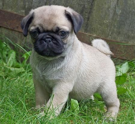 Omg this TOTALLY looks like Marlo! lol I thought he looked a lot like his Japanese Pom parent, but clearly he looks more Pug than anything!