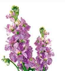 Another favourite & our flower of the week is stock. Also called gillyflower or Matthiola in Latin. The flower meaning is Bonds of affection. It makes your living room smell amazing!