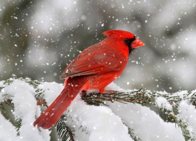 Cardinal in winter | Birds | Pinterest