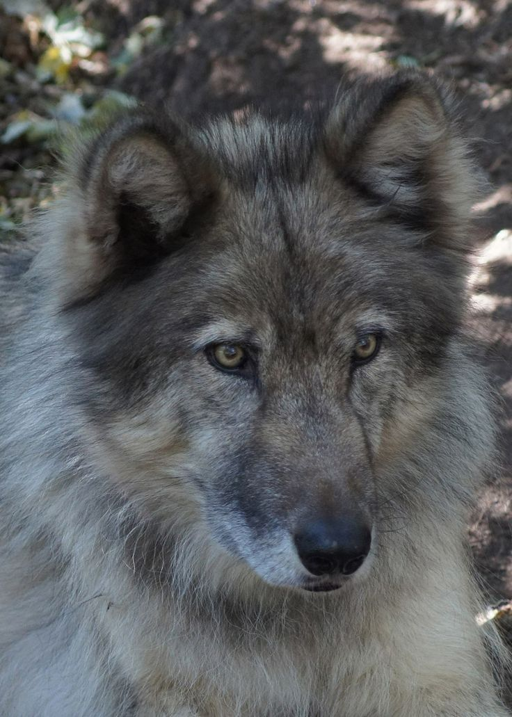 Wolf Sanctuary -    Today's resident spotlight is Rajan! He is a male born May 3, 2006 in Montana and given his second chance at W.O.L.F. on March 29, 2008. Rajan, which means king in Hindi, is a social resident that enjoys meeting new volunteers and donors, looking for attention and playing with his companion Bella Roux! Read more about Rajan on our website