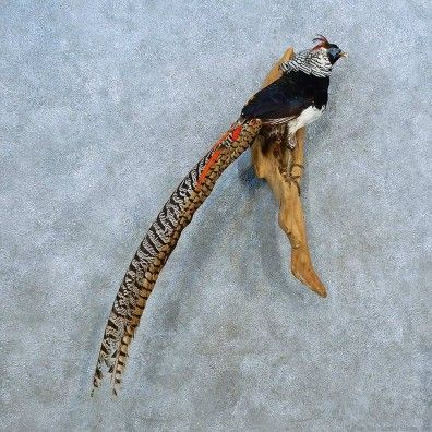 This brilliantly colored pheasant taxidermy mount is for sale @thetaxidermystore.com